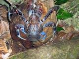 Gambar sampul [Foto] Kepiting Raksasa Terbesar di Dunia