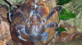 [Foto] Kepiting Raksasa Terbesar di Dunia