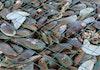 3 Ton Kerang Hijau Ditebar di Teluk Jakarta untuk Jernihkan Air
