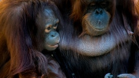 6 Ekor Orangutan Dilepasliarkan di Kalimantan