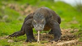 Darah Komodo Bisa Sembuhkan Luka Lebih Cepat?