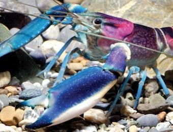Lobster Baru, Paling Cantik di Dunia dari Indonesia