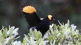 Isapmadu Elok, Burung Menawan Hati di Tanah Papua