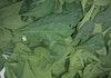 Daun Maja Asal Mojokerto Berkhasiat Sebagai Antibakteri pada Handsanitizer Alami