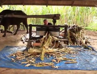 Gula 'Saka' Khas Nagari Lawang: Pakai Tenaga Kerbau hingga Obyek Wisata