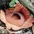 Mengenal Rafflesia yang tumbuh di Pulau Jawa
