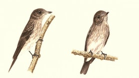 Mengenal Spesies Burung Baru Sulawesi