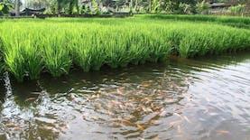 Sistem Mina Padi, Kombinasi Lahan Sawah dengan Budidaya Ikan yang Menguntungkan Para Petani