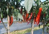 Rasakan Sensasi Pedas Inovasi Cabai Carvi Agrihorti