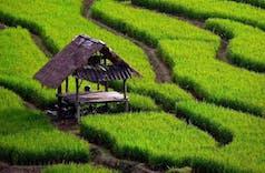 Bersama Cina dan India, Indonesia kuasai Produksi Beras Global