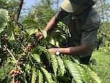 Gambar sampul Panen Biji Kopi di Sumatra Melimpah