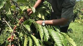 Panen Biji Kopi di Sumatra Melimpah
