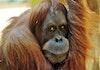Ratusan Orangutan Berhasil Dilepasliarkan di Aceh 7 Tahun Terakhir