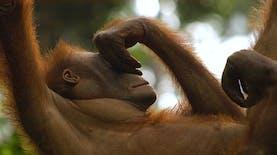 Foto-Foto Mencengangkan Orangutan Saat Berada di Rehabilitasi