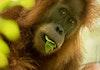 Yuk Kenali Perbedaan Orangutan Tapanuli dengan Orangutan Lainnya!