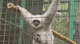 Tidak Banyak Yang Tahu, Primata Unik Ini Ternyata Hanya ada di Pulau Jawa