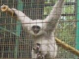 Gambar sampul Kabar Gembira Bagi Alam Liar Gunung Malabar, Primata Kharismatik Ini Berhasil Dilepasliarkan