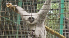 Kabar Gembira Bagi Alam Liar Gunung Malabar, Primata Kharismatik Ini Berhasil Dilepasliarkan