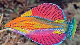 3 Spesies Ikan Eksotis Baru Ditemukan di Indonesia
