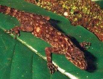 Penemuan Cicak Spesies Baru di Lampung