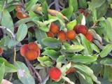 Pernahkah Melihat Buah-buahan Asli Bumi Indonesia ini?