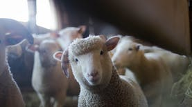 Pertama Kalinya Indonesia Mengekspor 60.000 Domba ke Malaysia