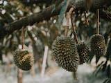 Gambar sampul Tanpa Satwa ini,  Durian Tidak akan Berbuah Lebat: Riset