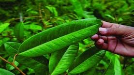 inilah dibalik nikmat nya rasa dan harumnya durian
