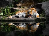 Seolah ''Bangkit'' dari Kepunahan, Harimau Jawa Terlihat di Hutan Jawa Tengah
