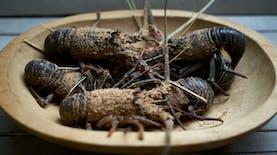 Indonesia Ternyata Punya 26 Milyar Lobster Bertelur yang Siap Jadi Cuan