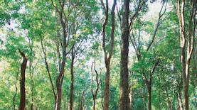 Pohon Penghasil Kayu Mewah Asli Jawa