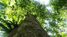 Pohon Ulin Terbesar Dunia Ada di Indonesia