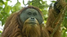 Batang Toru, Bukan Sekadar Hutan Biasa
