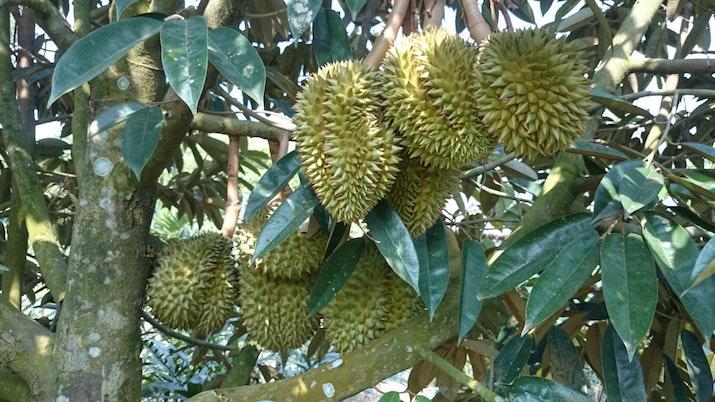 Asiknya Nikmati Durian sambil Jaga Hutan