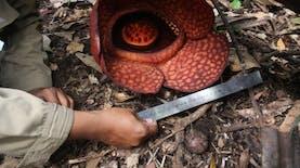 Rafflesia Gadutensis, Bunga Langka yang Hanya Ada di Sumatera Barat