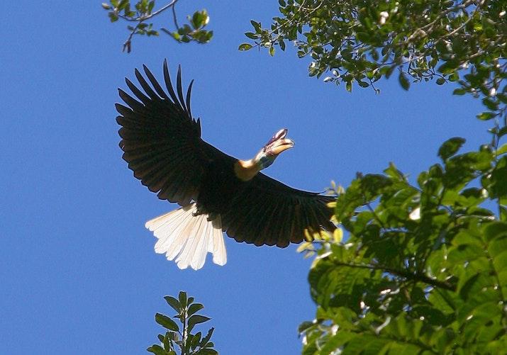 Kangkareng Sulawesi, Jenis Istimewa yang Hanya Ada di Indonesia