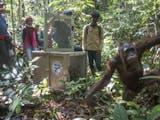 Gambar sampul [Foto] Satu Lagi Orangutan Kembali Ke Alam