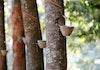 Peremajaan Pohon Karet, Cara untuk Sejahterakan Petani Karet