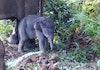 Taman Nasional Tesso Nilo Tambah Ramai Berkat Lahirnya Anak Gajah Ini
