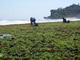Gambar sampul Ternyata Ada 88 Spesies Rumput Laut Potensial di Nusa Tenggara Barat