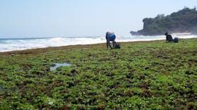 Ternyata Ada 88 Spesies Rumput Laut Potensial di Nusa Tenggara Barat