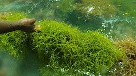 Negara Ini Ternyata Belajar Mengolah Rumput Laut Dari Indonesia