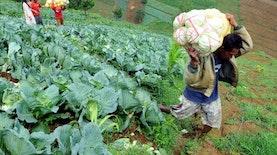 Komoditas Sayur Lokal Siap Bersaing Dengan Komoditas Impor