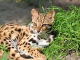 Gambar sampul Mengenal 5 Kucing Hutan Nan Eksotis di Sumatra yang Terancam Punah