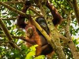 Gambar sampul Kebun Binatang Gembira Loka Sambut Kelahiran Bayi Orang Utan Kalimantan