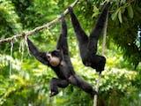Gambar sampul Terancam Punah, Ini 4 Primata Endemik yang Menghuni Kepulauan Mentawai