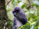 Gambar sampul Surili, Primata Endemik Penyebar Benih Pohon yang Berdampak Besar Bagi Lingkungan