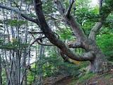 Gambar sampul Mengenal Nothofagus, Pohon Asal Papua yang Disorot dalam Rapat UNESCO