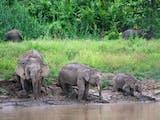 Gambar sampul Menyelisik Asal Usul Gajah Kerdil yang Disebut Berasal dari Jawa