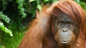 Berkawan dengan Berang-berang, Orangutan Sumatra di Belgia Curi Perhatian